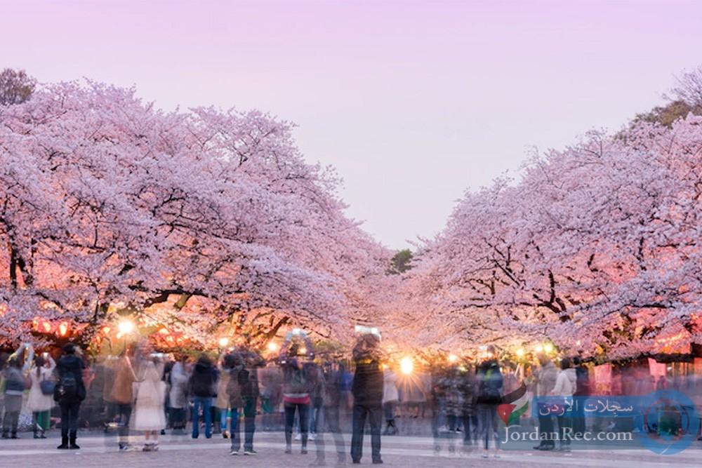 أزهار الكرز في تشانغوون
